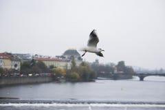 Чайки в полете на фоне визирований старых города, Карлова моста и взгляда к реке Влтавы, Праге Стоковые Фотографии RF