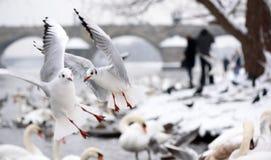 Чайки в полете около Карлова моста в Kampa в Праге Стоковые Фотографии RF