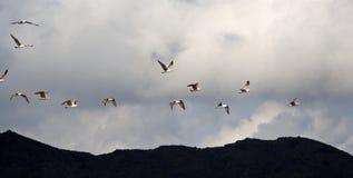 Чайки в полете Стоковое Изображение