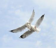 Чайки в полете Стоковая Фотография RF