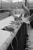 Чайки в сети Стоковые Фото