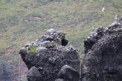 Чайки гнездясь на утесе Стоковое Изображение RF