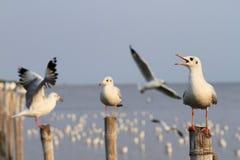 Чайки держа дальше штендеры Стоковые Изображения