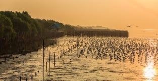 Чайки леса и силуэта мангровы с предпосылкой восхода солнца Стоковые Фотографии RF