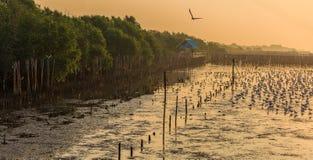 Чайки леса и силуэта мангровы с предпосылкой surise Стоковая Фотография