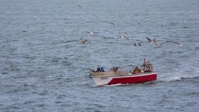 Чайки есть рыб после прохода рыбацкой лодки [@50fps] сток-видео