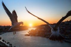 Чайки летают над рекой Дуэро во время захода солнца porto Стоковые Изображения