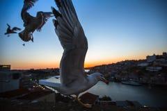 Чайки летают над рекой Дуэро на сумерк porto Стоковые Изображения RF