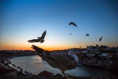 Чайки летают над рекой Дуэро на сумерк porto Стоковое Изображение