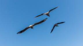 3 чайки летая с предпосылкой голубого неба стоковая фотография