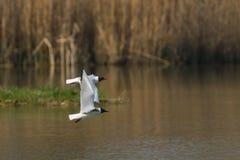 2 чайки летая стоковые фото