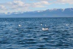 чайки залива плавая Стоковые Фото
