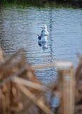 Чайки заплывания Стоковые Изображения