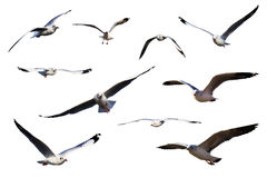 чайки изолировали белизну моря установленную Стоковые Фотографии RF