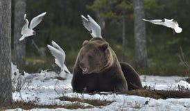 Чайки и взрослый мужчина бурого медведя (arctos Ursus) на снеге Стоковое Фото