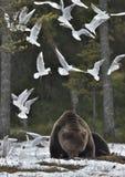 Чайки и взрослый мужчина бурого медведя (arctos Ursus) на снеге Стоковое фото RF