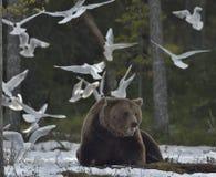 Чайки и взрослый мужчина бурого медведя (arctos Ursus) Стоковая Фотография