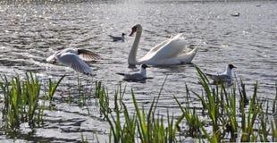 Чайки и лебеди Стоковое фото RF