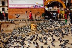 Чайки и корова на месте около виска Pashupatinath Стоковое Фото