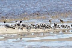 Чайки и sanderlings на отмели стоковое изображение rf