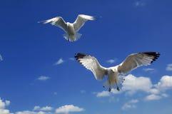чайки колебаясь Стоковая Фотография