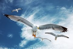 Чайки летания Стоковое фото RF