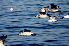 чайки летания Стоковая Фотография