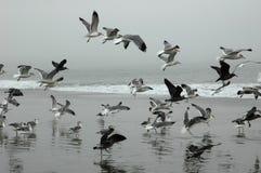 чайки летания Стоковые Фото