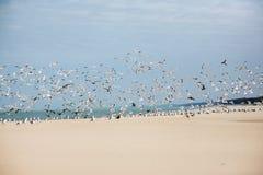чайки летания Стоковое Изображение
