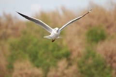 Чайки летают Чайки летают в лес Стоковые Фотографии RF