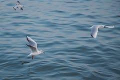 Одиночное летание чайки с с морем как предпосылка Чайки летают над морем, небо голубо и безоблачно стоковая фотография rf