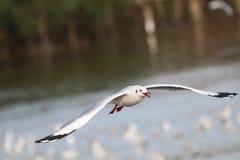Чайки летают Чайки летают над морем Стоковое Изображение RF