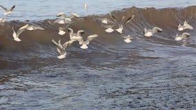 Чайки летая над волнами видеоматериал