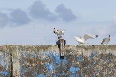 Чайки моря воюя на стене Стоковое Фото