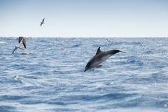 Чайки моря и общий дельфин Стоковое Изображение