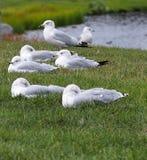 Чайки моря на крае озера Стоковое Изображение