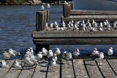 Чайки моря птиц моря природы на доке шлюпки Стоковое Изображение RF