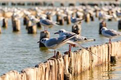 2 чайки моря сидят на пнях в воде стоковые фотографии rf