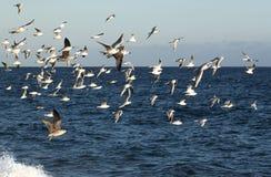 Чайки моря Стоковая Фотография