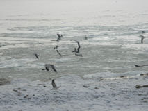 Чайки на береге замороженного моря стоковое фото rf