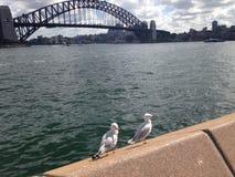Чайки на гавани Сиднея Стоковая Фотография RF