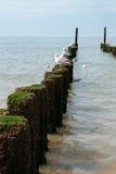 Чайки на деревянных groynes на пляже Стоковое фото RF
