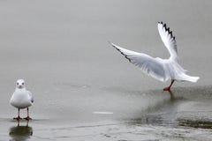 Чайки на зиме Стоковые Фотографии RF