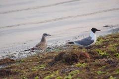 Чайки на крае заливов на восходе солнца Стоковое фото RF