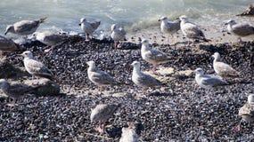 Чайки на мидиях Стоковая Фотография