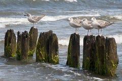 Чайки на моли во время ветреной погоды Стоковая Фотография RF