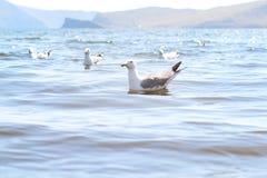 Чайки на озере Байкал Стоковые Фотографии RF