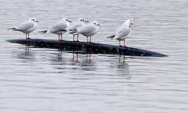 Чайки на озере Стоковая Фотография