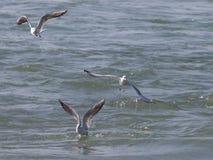 Чайки на охоте Стоковая Фотография