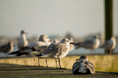 Чайки на палубе Стоковая Фотография